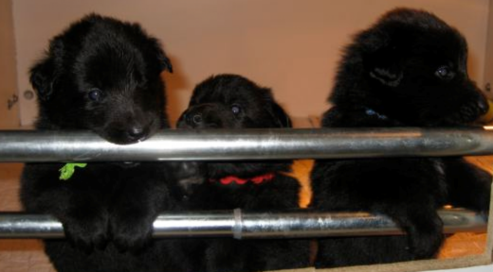 Bel Royale Belgian Sheepdogs
